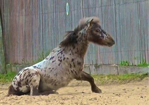 In all of my long life I had never seen a spotted pony!